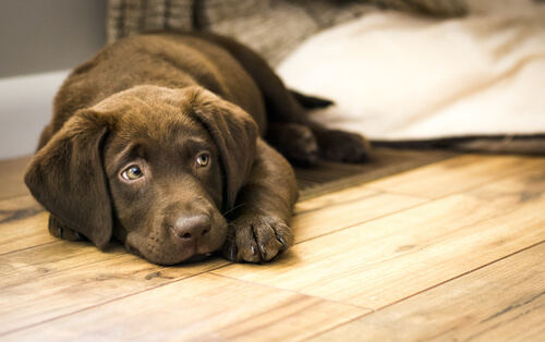 labrador dog on wood flooring